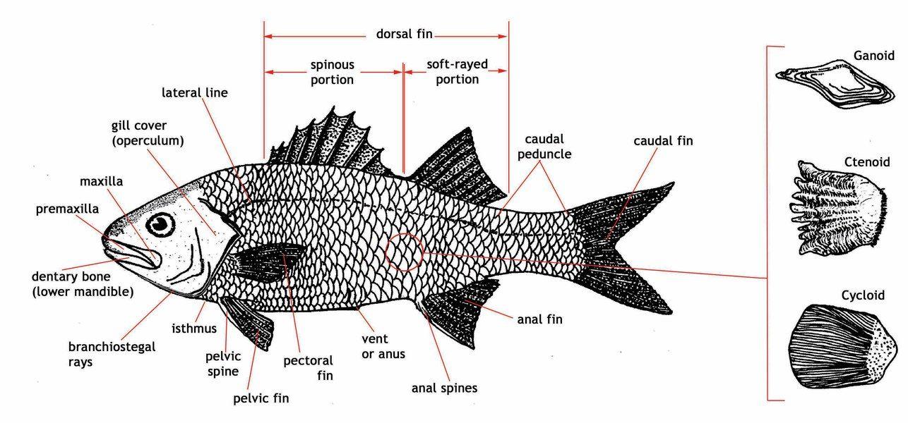 Large Fish Diagram Freshwater Catfish Lion Fish Diagram