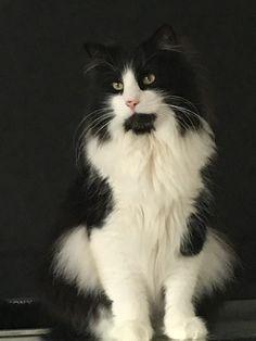 My Beautiful Albert My Beautiful Albert Norwegian Forest Cat