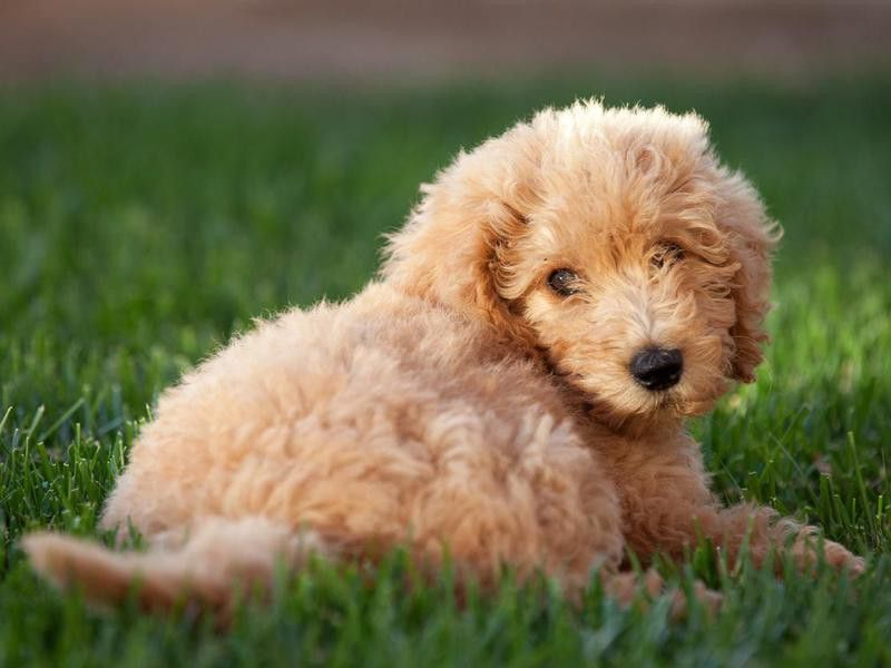 Red golden retriever puppies for sale uk