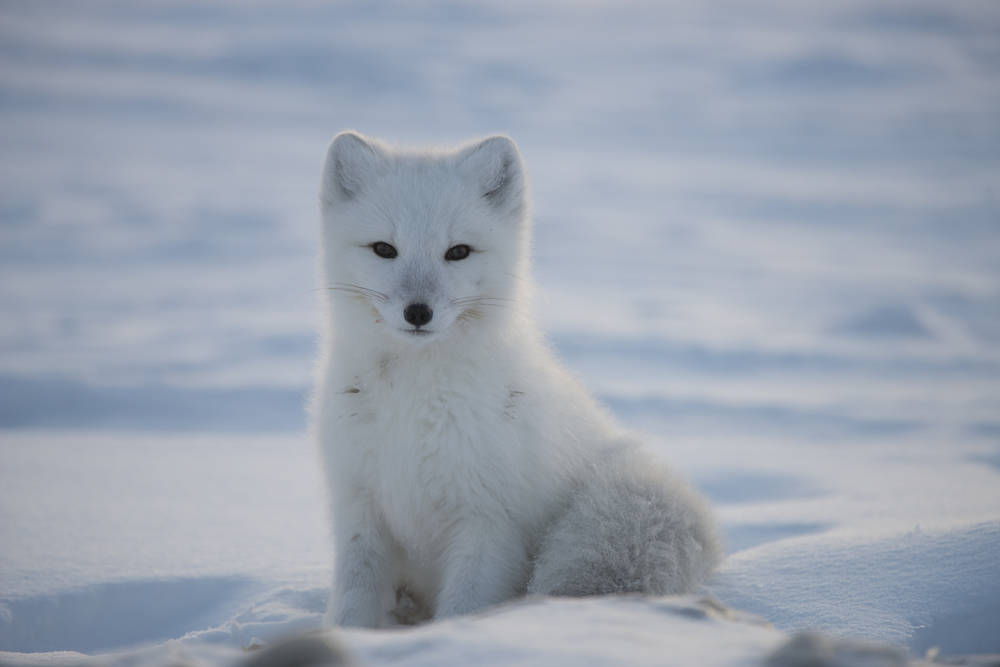 Arctic Fox Sitting In The Snow Nature En 2020 Renard Polaire Renard Renard Arctique