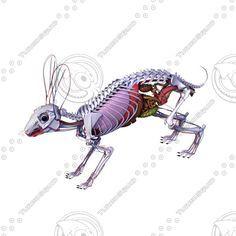 Rabbit Muscle Anatomy Rabbit anatomy 3d model | anatomy ...