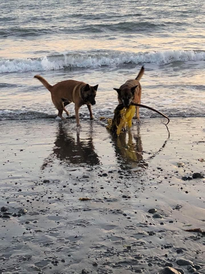 Belgian Malinois K9 Lazer and K9 Bowie at the beach www