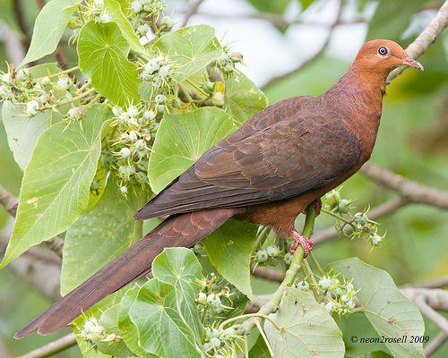 Philippine Cuckoo-Dove (Macropygia tenuirostris)