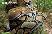 Reticulated python juvenile coiled around sapling