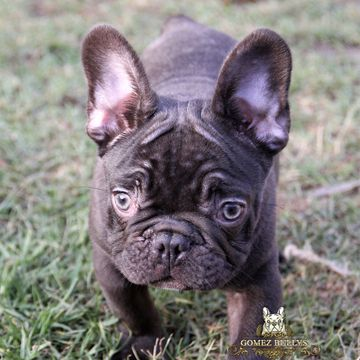 French Bulldog Puppy For Sale In Ojai Ca Adn 52705 On