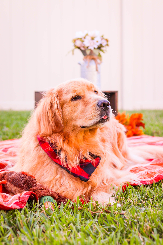 Golden Retriever Orlando Pet Photographer In 2020 Pet Photographer Animal Photoshoot Dog Photograph