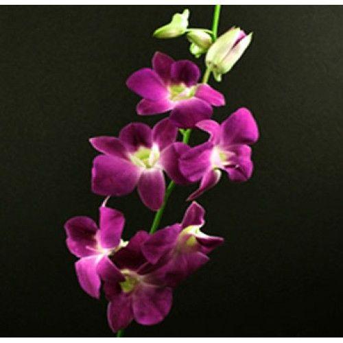 Dendrobium Sabina Dendrobium Orchids Orchids Purple Flowers