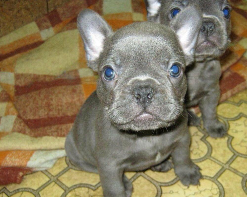 Bouledogue Francesi Total Blu No Strisce Occhi Blu Annunci Animali
