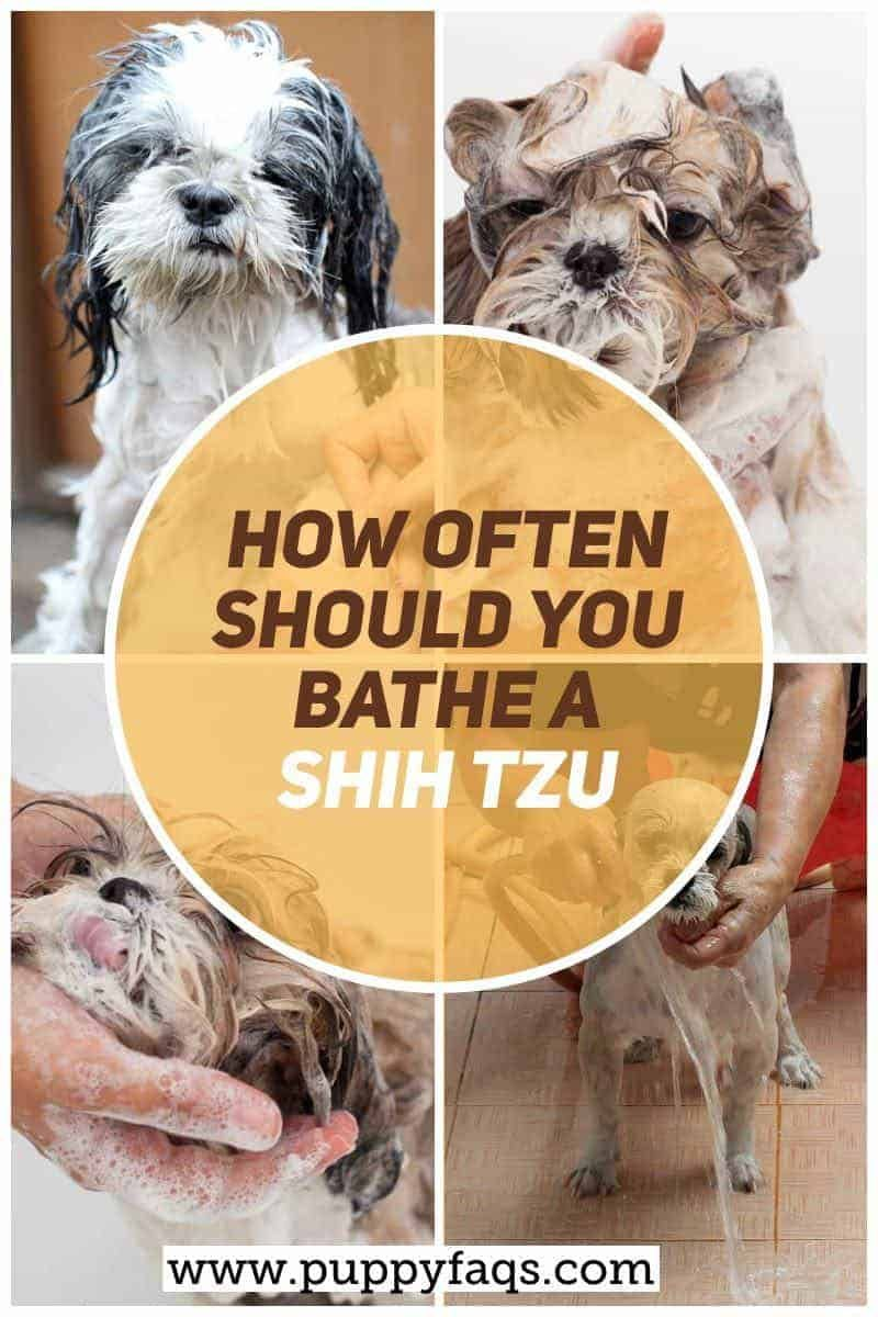 How Often Should You Bathe A Shih Tzu In 2020 With Images Dog