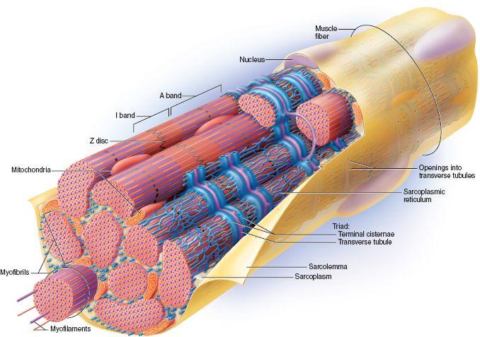 Risultato immagini per sarcoplasmic reticulum