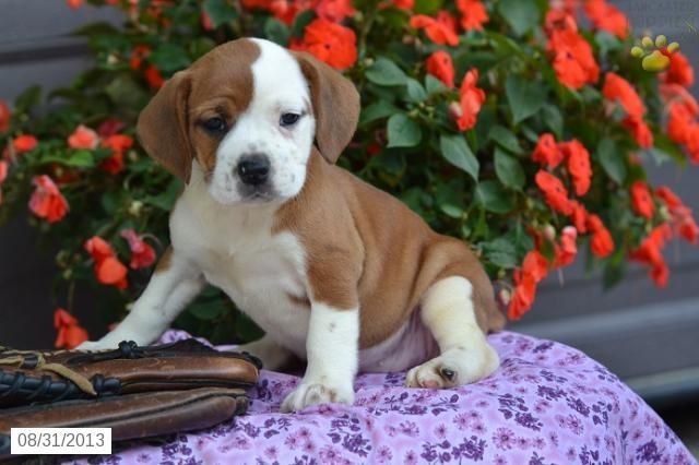 Beabull Puppy For Sale With Images Puppies Puppies For Sale