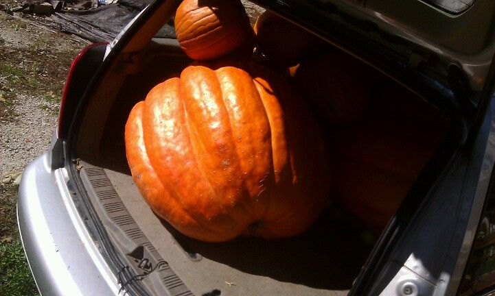 Pumpkin King #Giant Pumpkin
