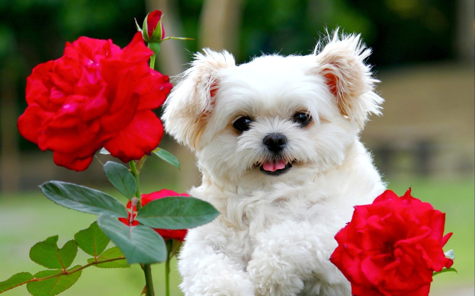 Cute White Puppy With Red Rose Flowers Hd Wallpapers Rocks