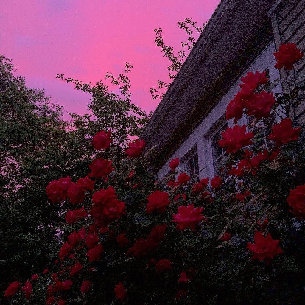Red Rose Aesthetic Tumblr