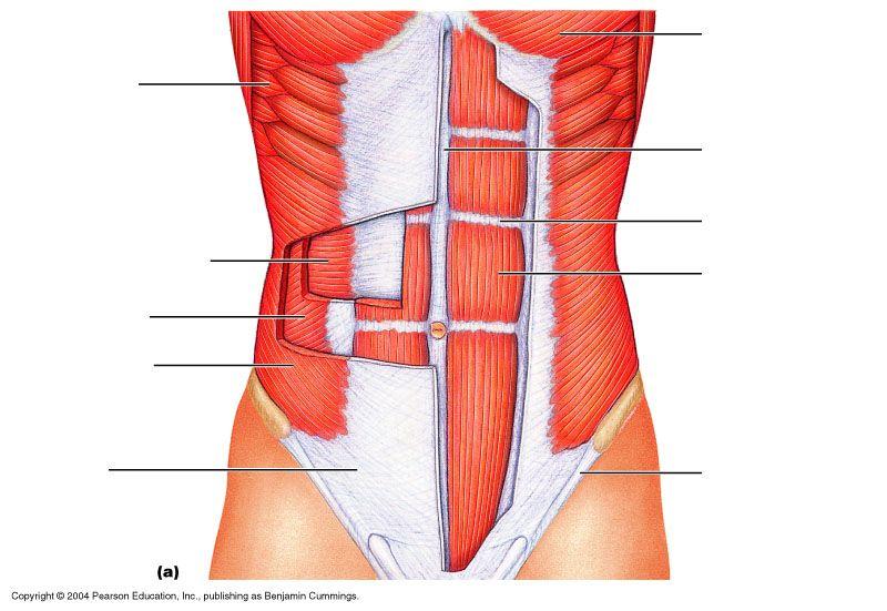 Torso Muscles Unlabeled Diagram