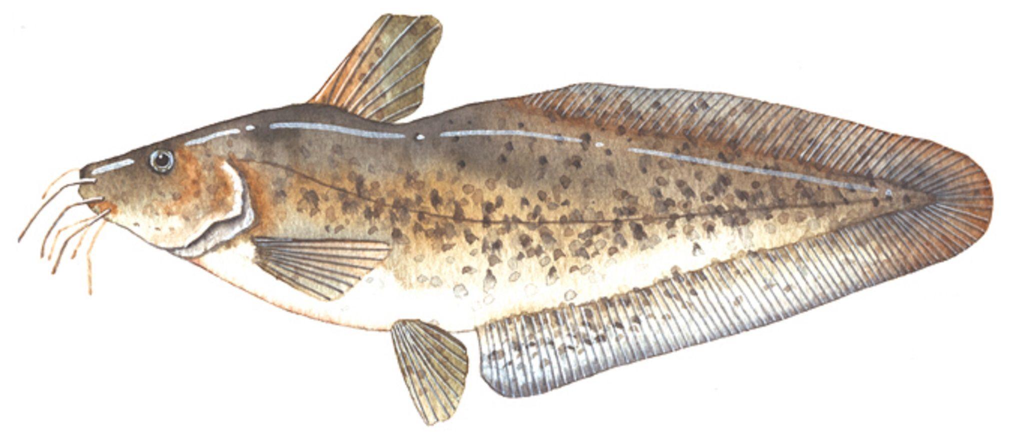Freshwater fish in australia - Art Illustration Lakes Freshwater Fish Eel Tailed Catfish Tandanus