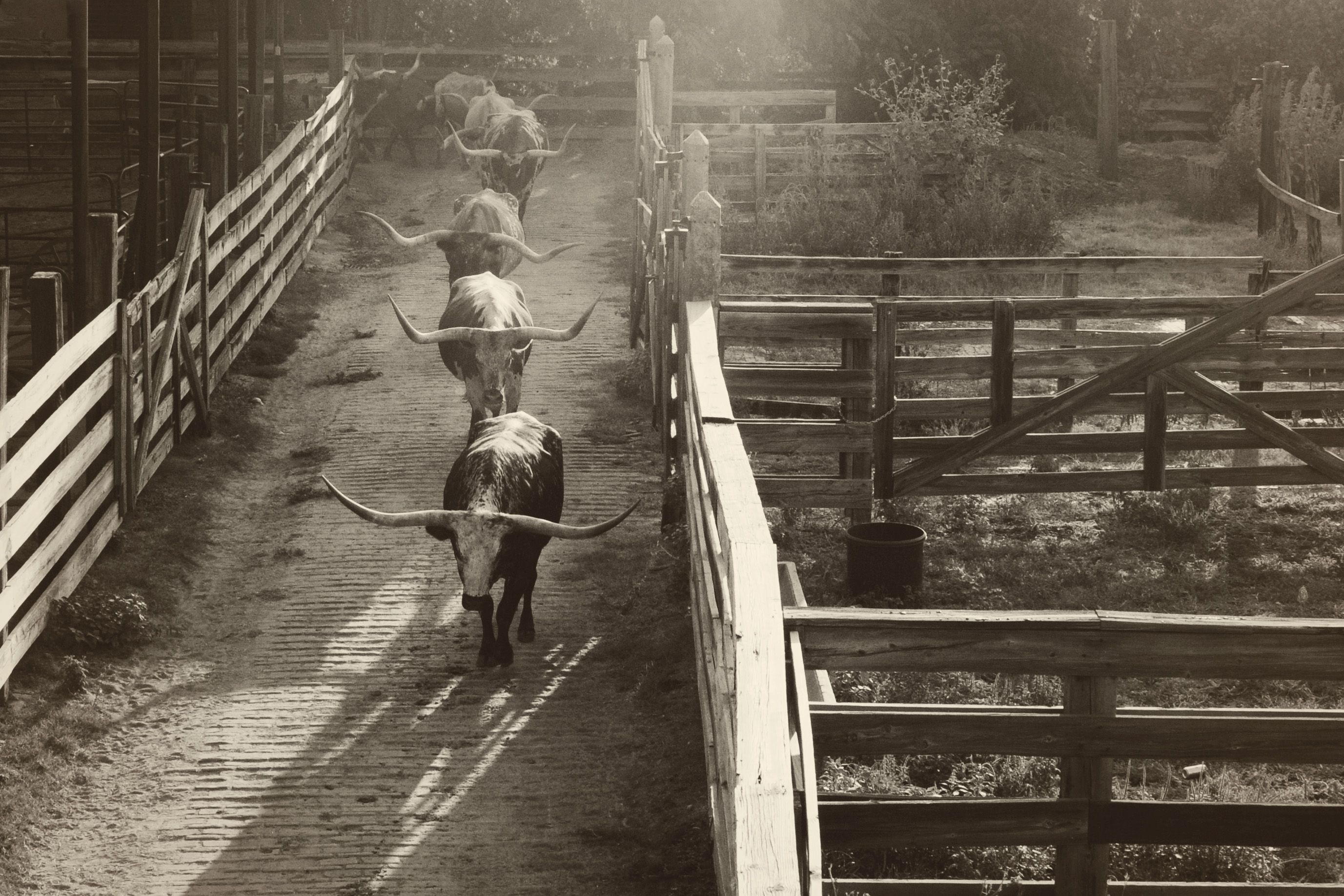Longhorn Cattle Drive At The Stockyards In Fort Worth Texas Longhorn Cattle Cattle Drive Bull Riders