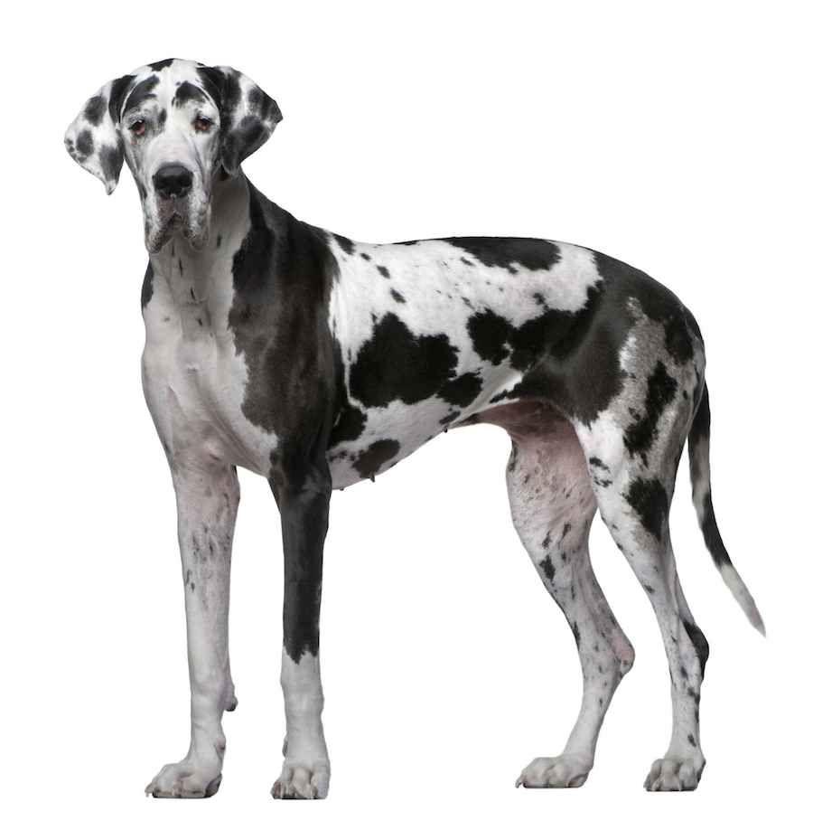 Harlequin Great Dane Great Dane Dogs Dane Dog Dog Breeds