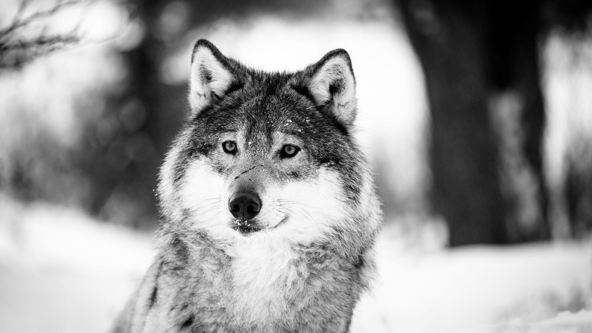 черно белое фото волка удивительная
