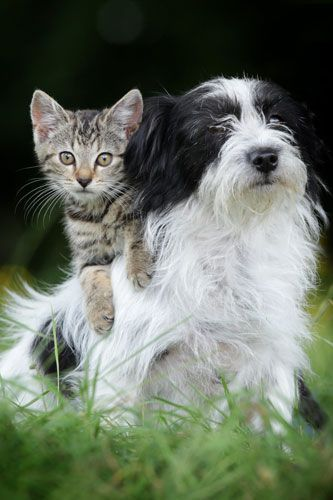 Look At The Dog Shielding This Eight Week Old Kitten From Danger