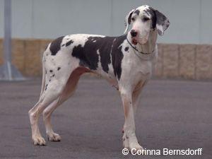 Pin Auf Deutsche Dogge