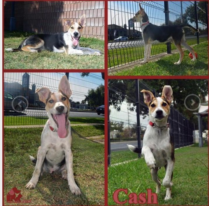 Cash - Jack Russell Terrier and Pit Bull Mix.