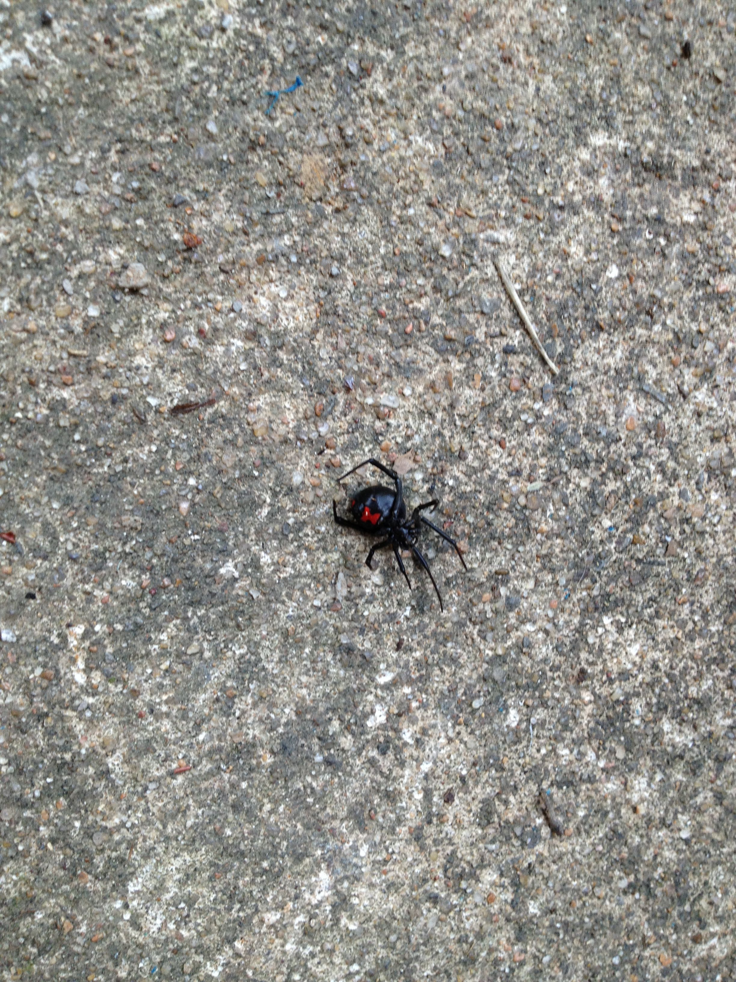 Dead Black Widow spider | Insects, bugs, spiders,...... | Pinterest