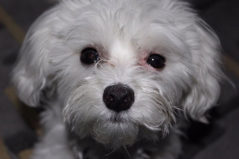female teacup maltese, trained with all her shots and
