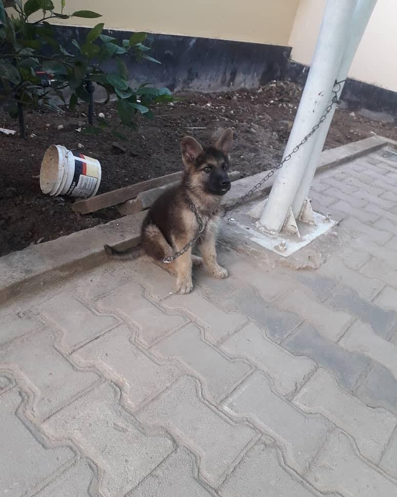 Puppy Mbwa Wakali Wa Ulinzi Aina Ya Germany Shepherd Hawa Ndio