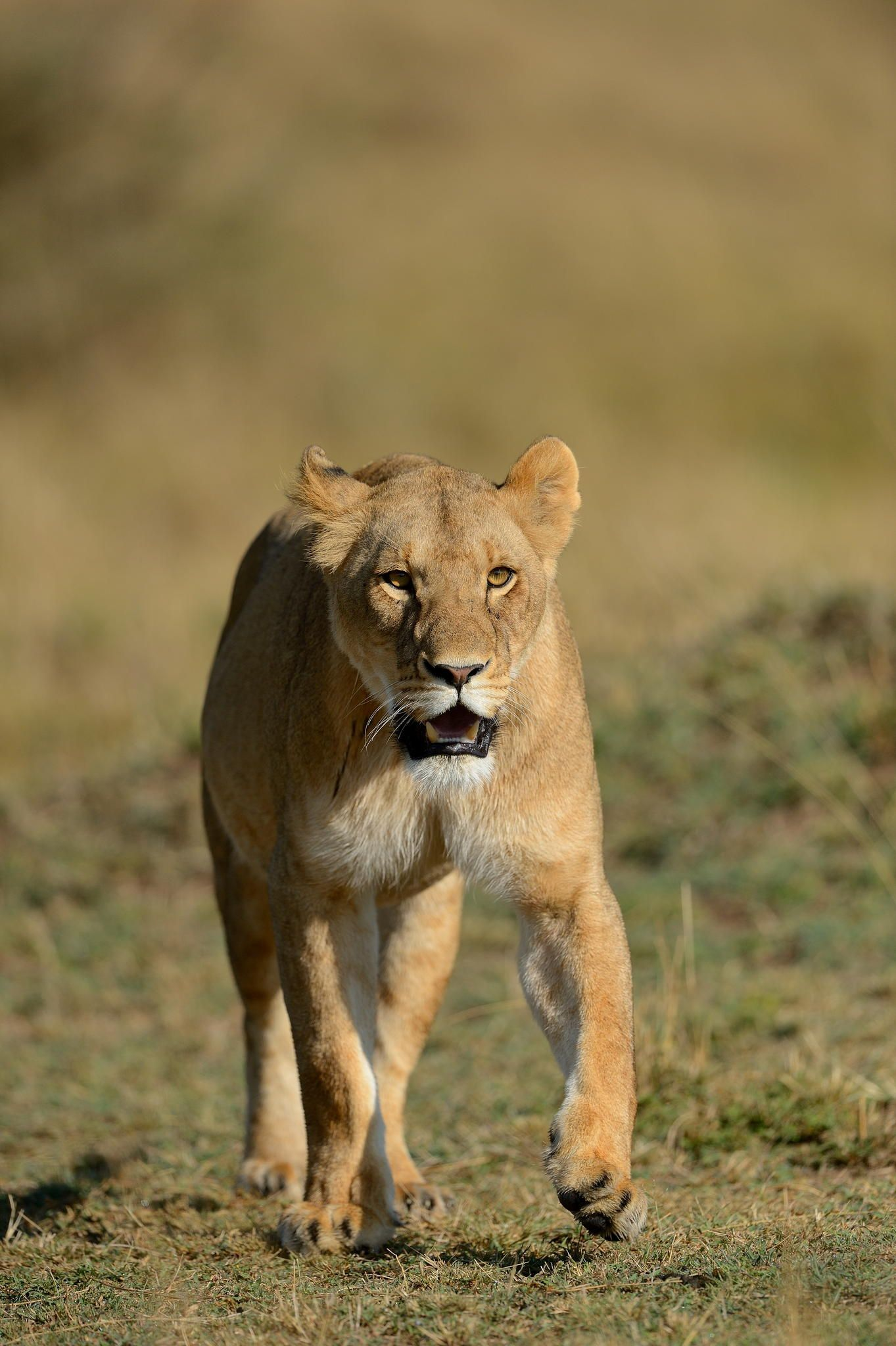 Lioness by Elmar Weiss on 500px