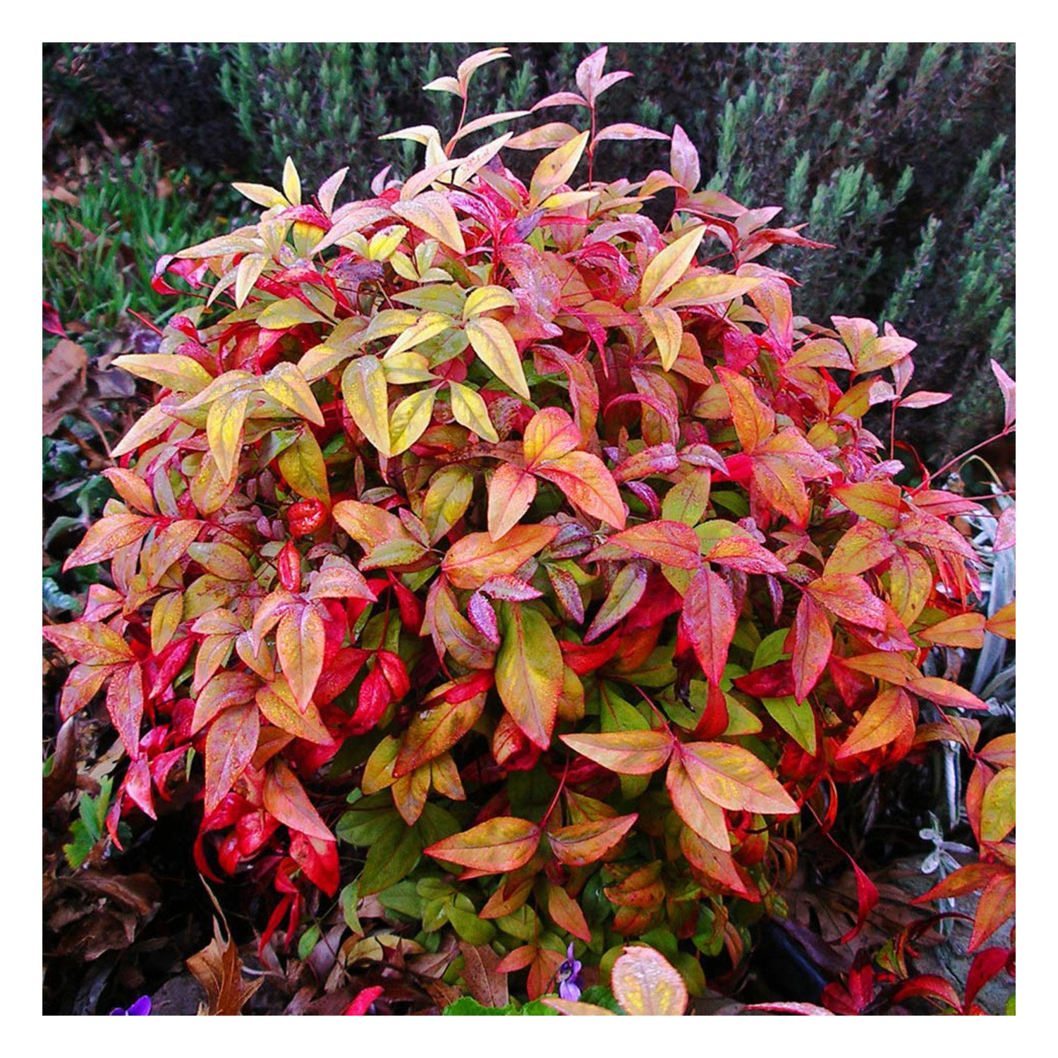 Image 0 With Images Evergreen Shrubs Landscaping Plants Plants
