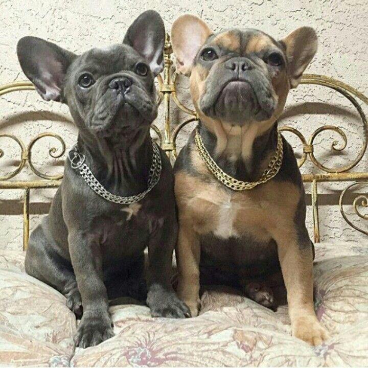 Pin By Sophia Pets On French Bulldog French Bulldog