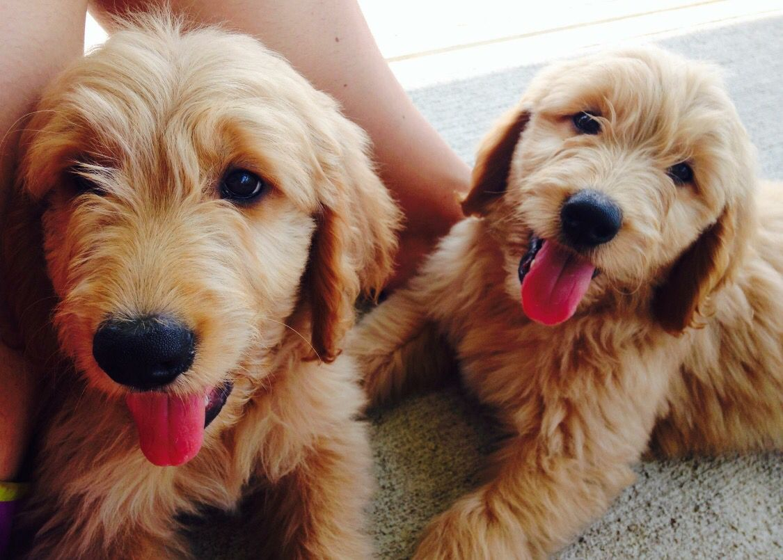 Exceptional Puppies From Doodle Bug Goldendoodles Based Out Of Dayton Ohio And Can Be Found On Facebook Beautiful Dogs Photos Dog Photos Beautiful Dogs