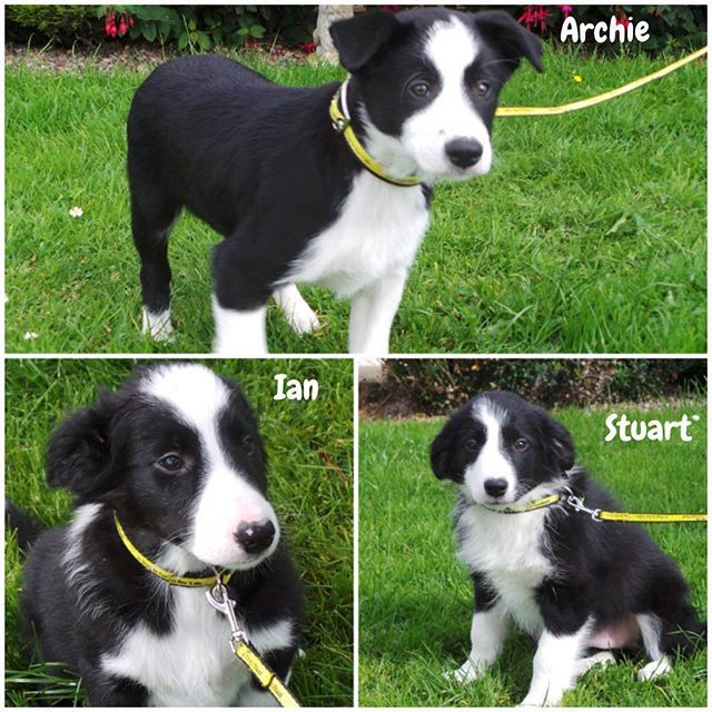 Meet These 3 Gorgeous Border Collie Cross Puppies At Dogs Trust