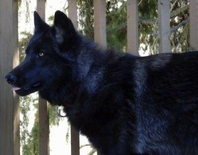 Varg a black-phase upper mid content wolfdog. Wolfdog ...