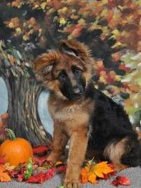 German Shepherd Puppies German Shepherd Studs German Shepherd
