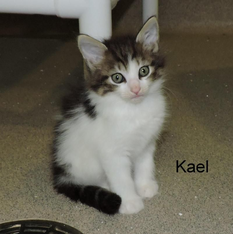 Meet Kael, a Petfinder adoptable Domestic Long Hair Cat | Slidell, LA | Case #10934A.  Kael was born March, 2015.  He was surrendered because there  were too many cats. ...