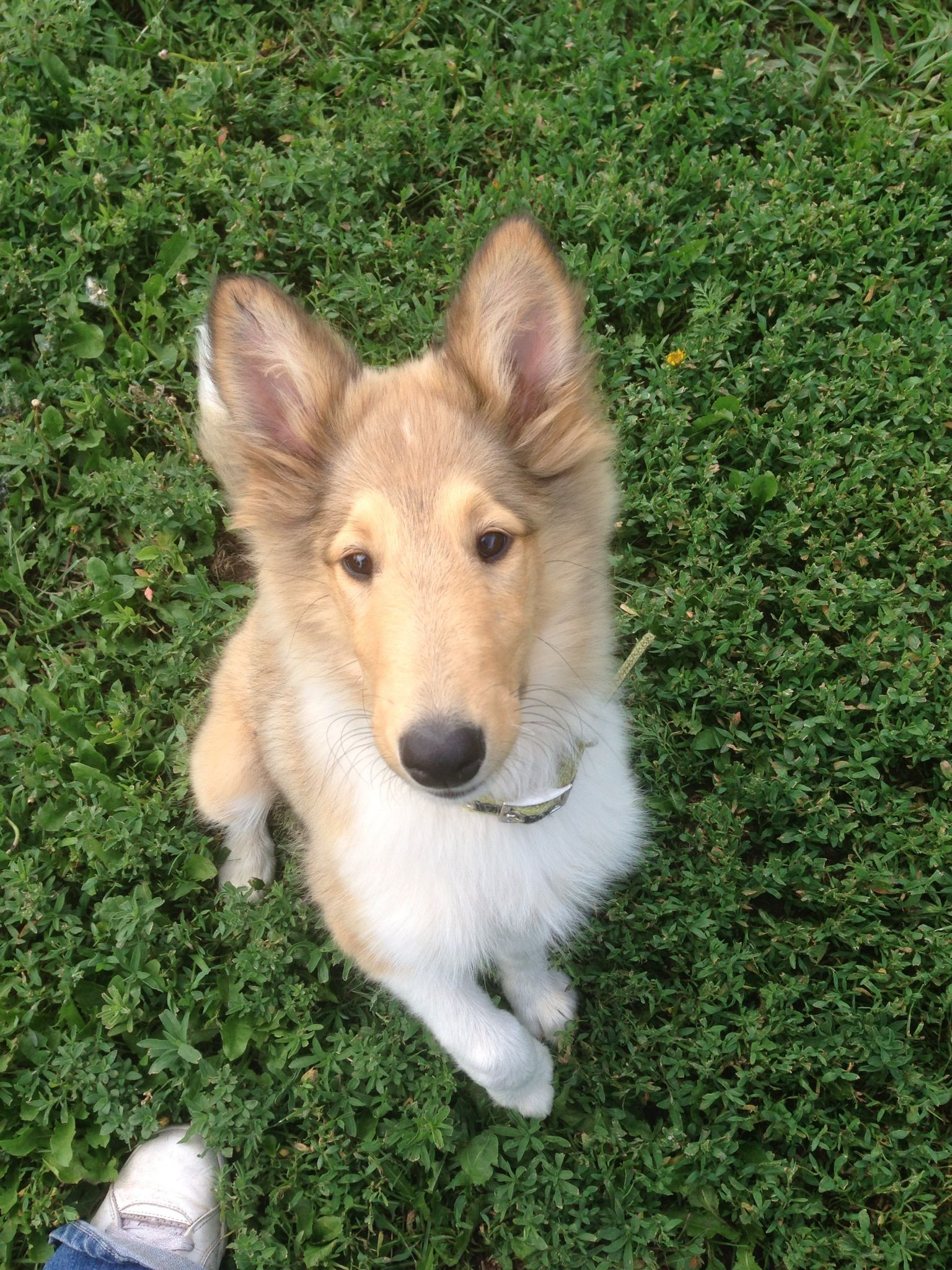 My Beautiful Rough Collie Sprite At 14 Weeks Sheltie Dogs Dog