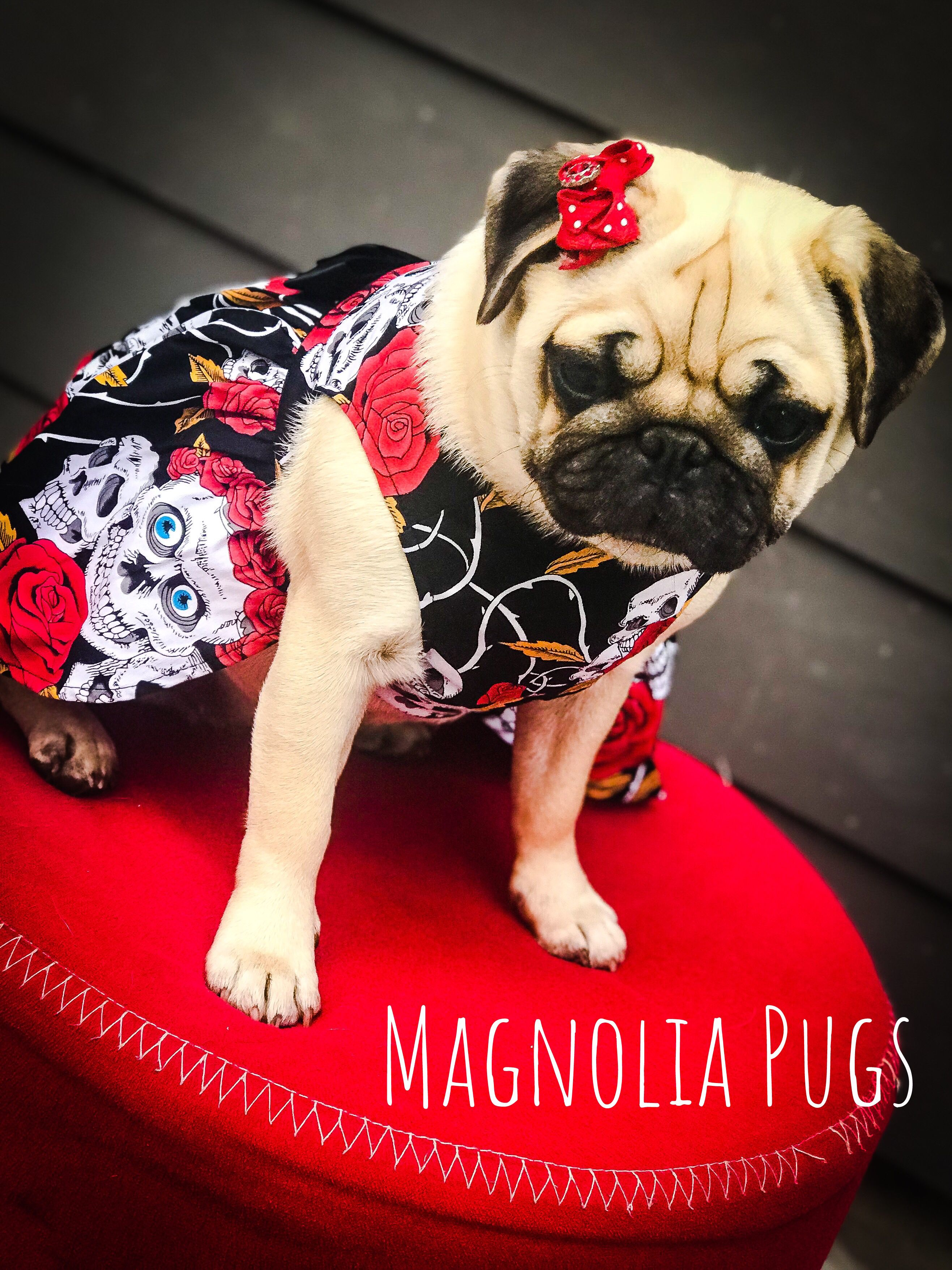 Muffy all dolled up !   Pugs, Pug gifts, Pug love