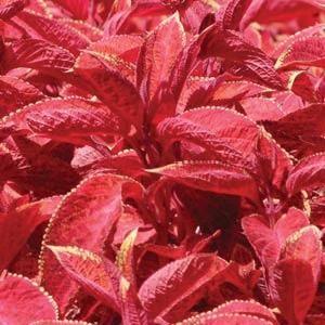 Wizard Sunset coleus seeds - Garden Seeds - Annual Flower Seeds from Swallowtail Seeds