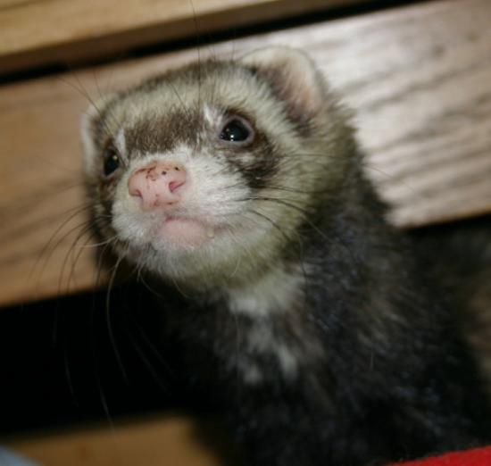Baby Hamsters For Sale At Petco Cute Ferrets Hamsters For Sale Baby Hamster