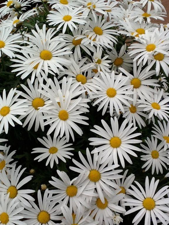 Cheery daisies!