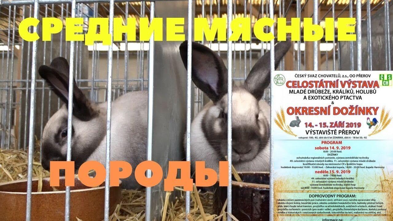 Полный обзор пород кроликов на выставке в Чехии/Голуби и ...
