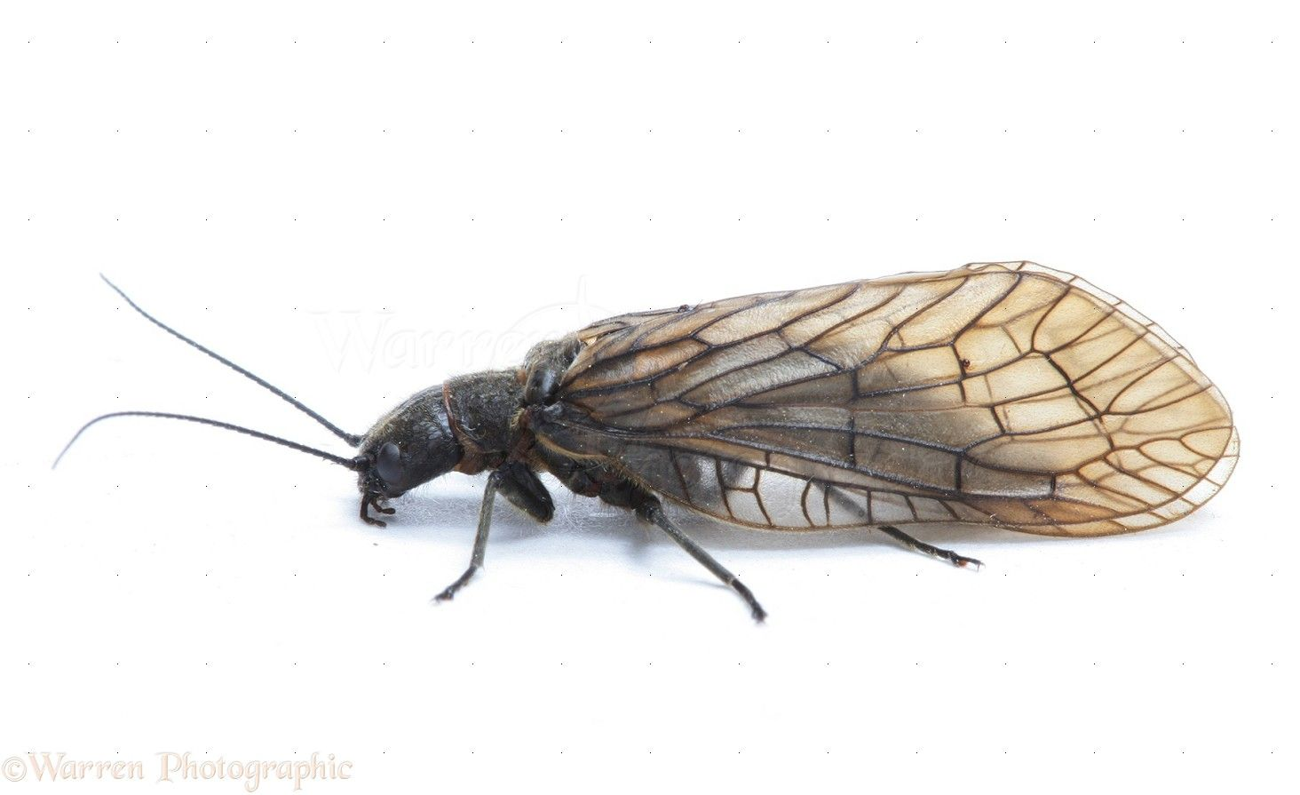 Alder fly fly fishing entomology pinterest for Fly fishing entomology