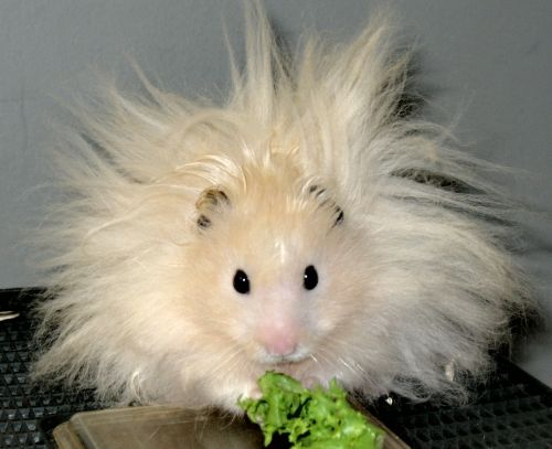 Hey, Syrian Teddy Bear Hampster! YOUR HAIR IS FIERCE | syrian hamstaers | Pinterest | Animal ...