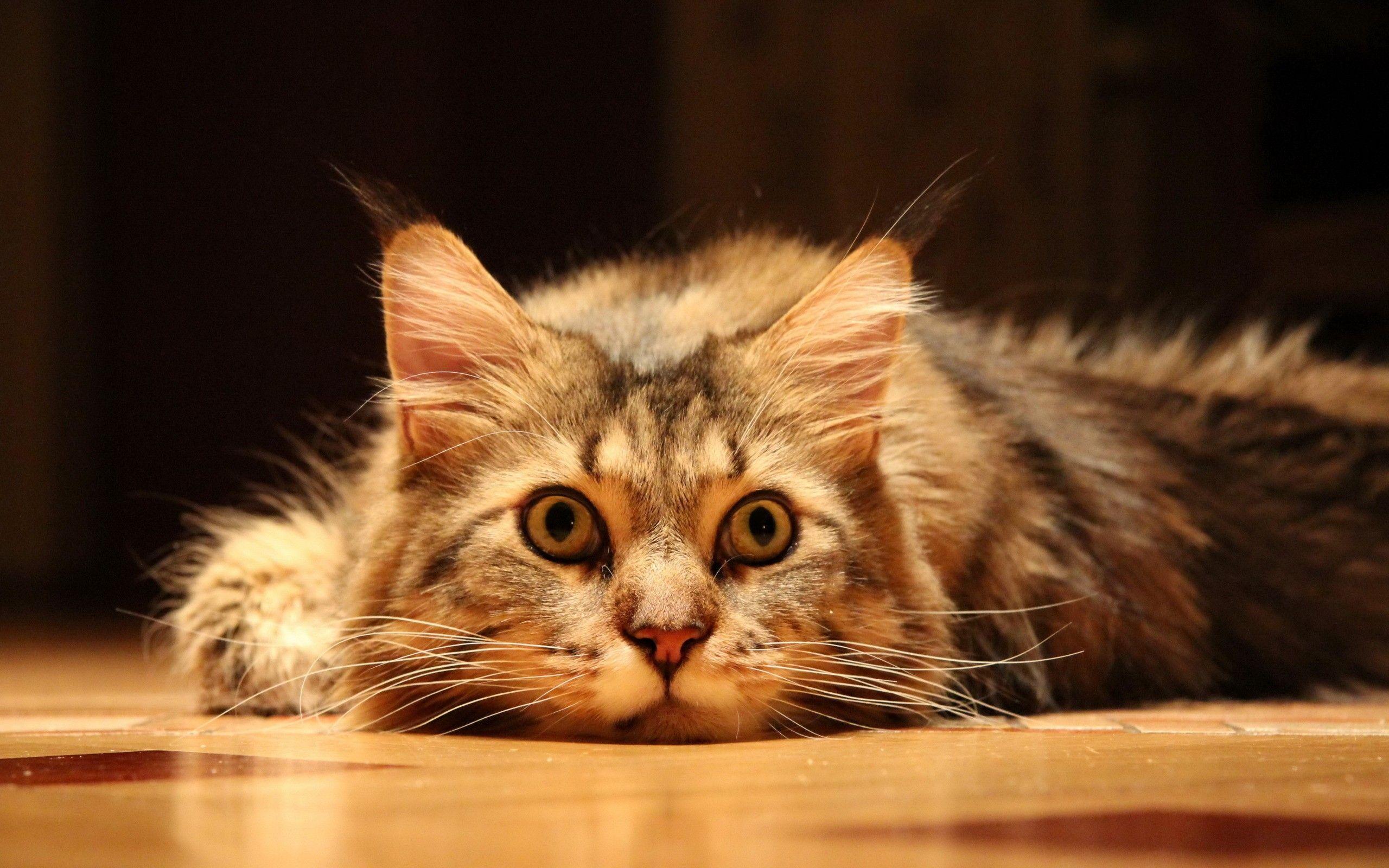 Ciri Ciri Kucing Anggora Lucu Dan Tips Merawatnya