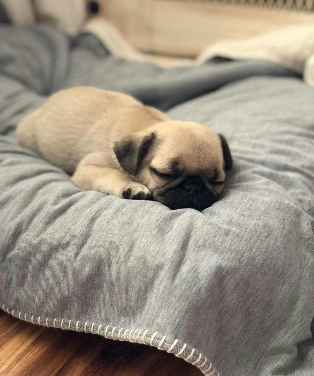 Sleep Tight Baby Boy Cute Baby Pugs Baby Pugs Pug Puppies