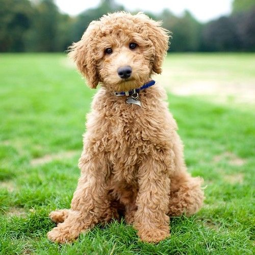 Max Labradoodle 4 M O Hyde Park London Uk Beautiful Dogs