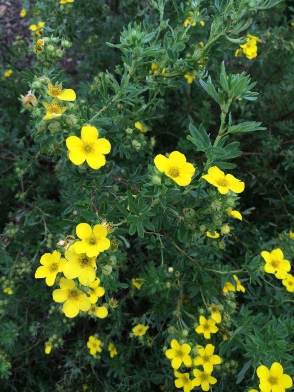 Durable Plants For The Garden: Potentilla (potentilla Fruticosa): Your Plant Is A