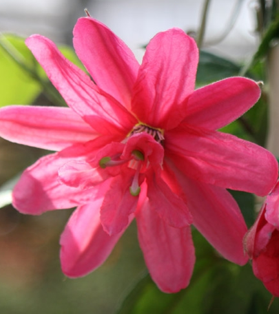 Passiflore rose double pink passion ou passiflora insignis pink passiflore rose double pink passion ou passiflora insignis pink passion pot 3l mightylinksfo